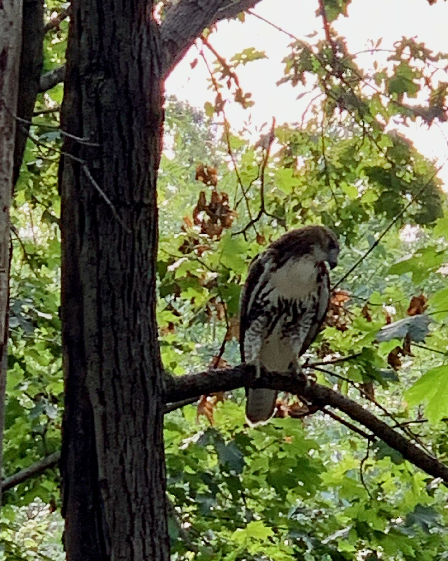 A red-tailed hawk sitting on a branch in New York City