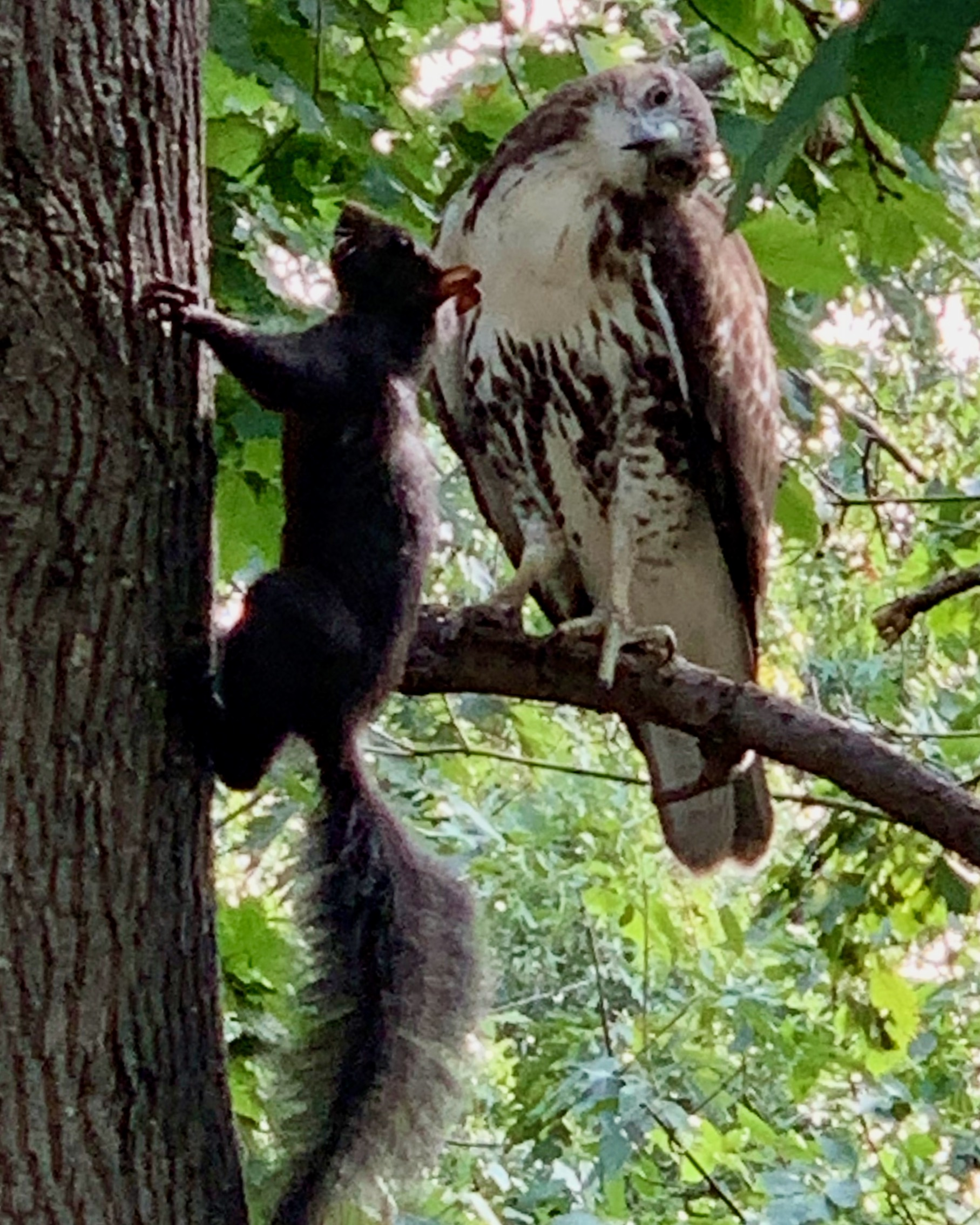 A red-tailed curiously eyes a black squirrel in New York City