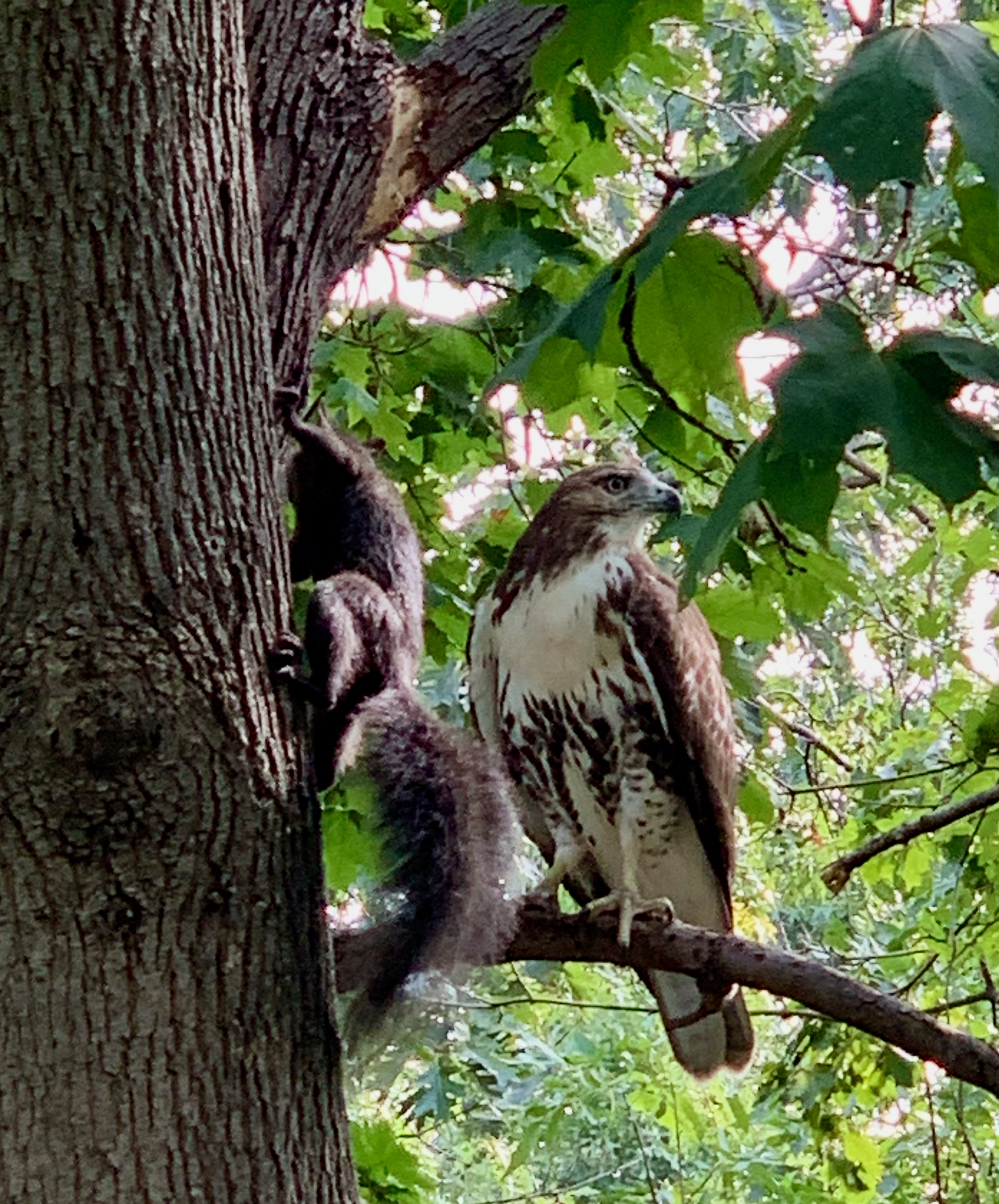 A red-tailed curiously eyes a scampering black squirrel in New York City