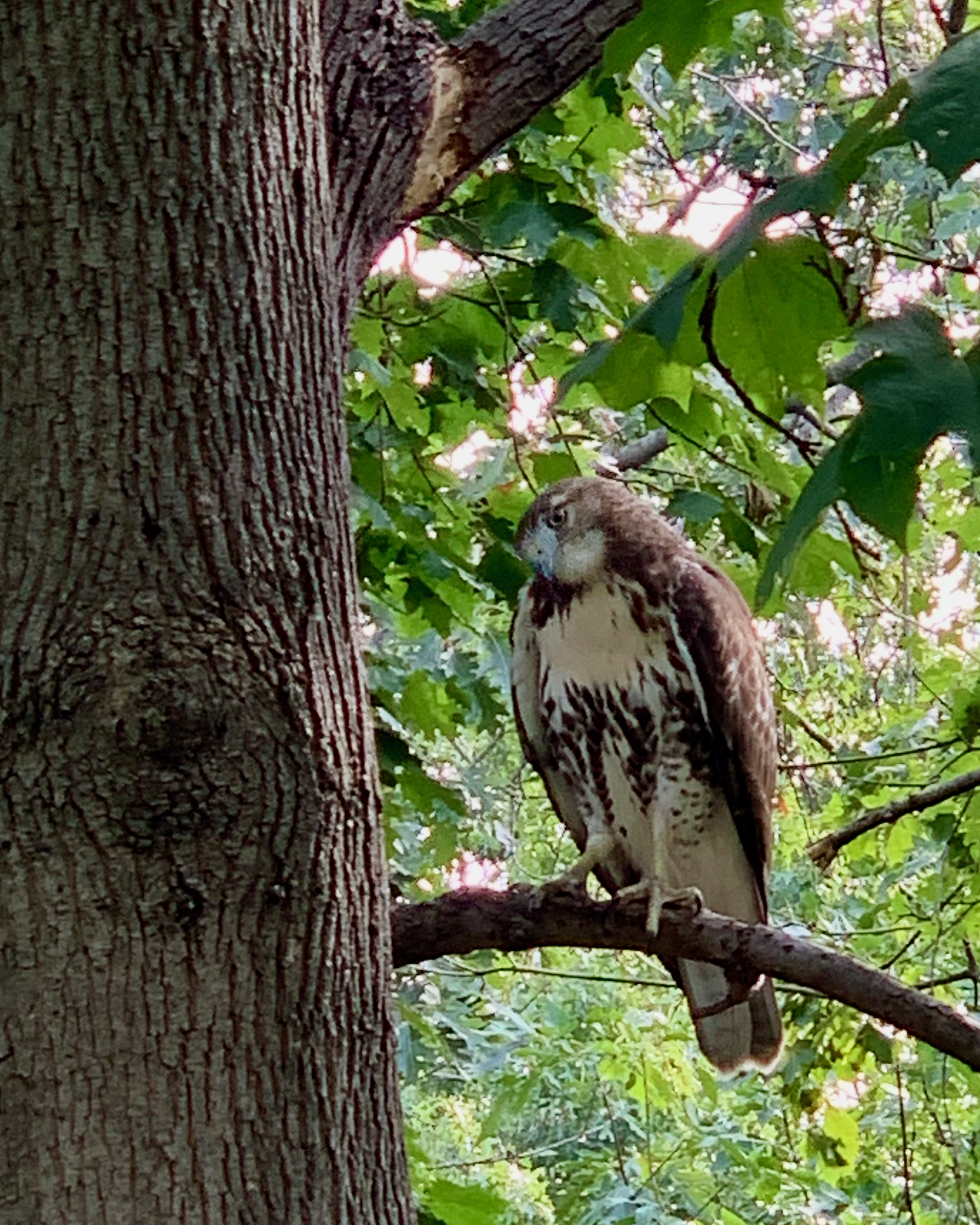 A red-tailed stares at squirrel hidden from view in New York City
