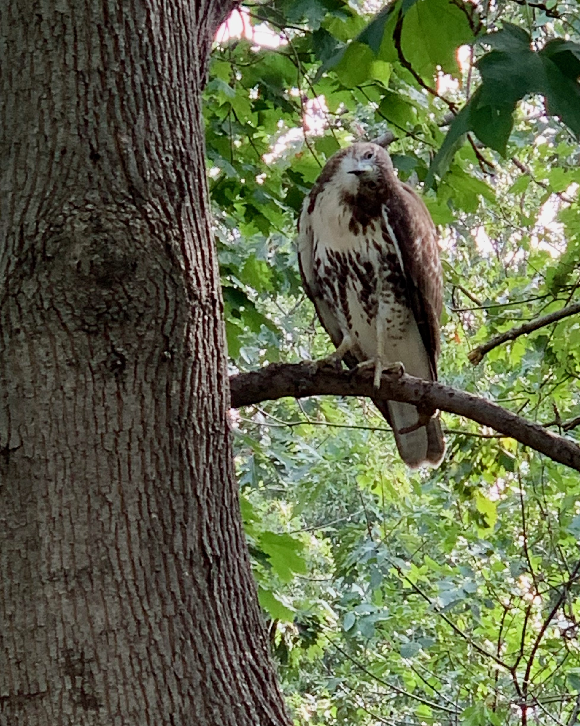 A red-tailed cocks its head as it eyes a black squirrel hidden from view in New York City