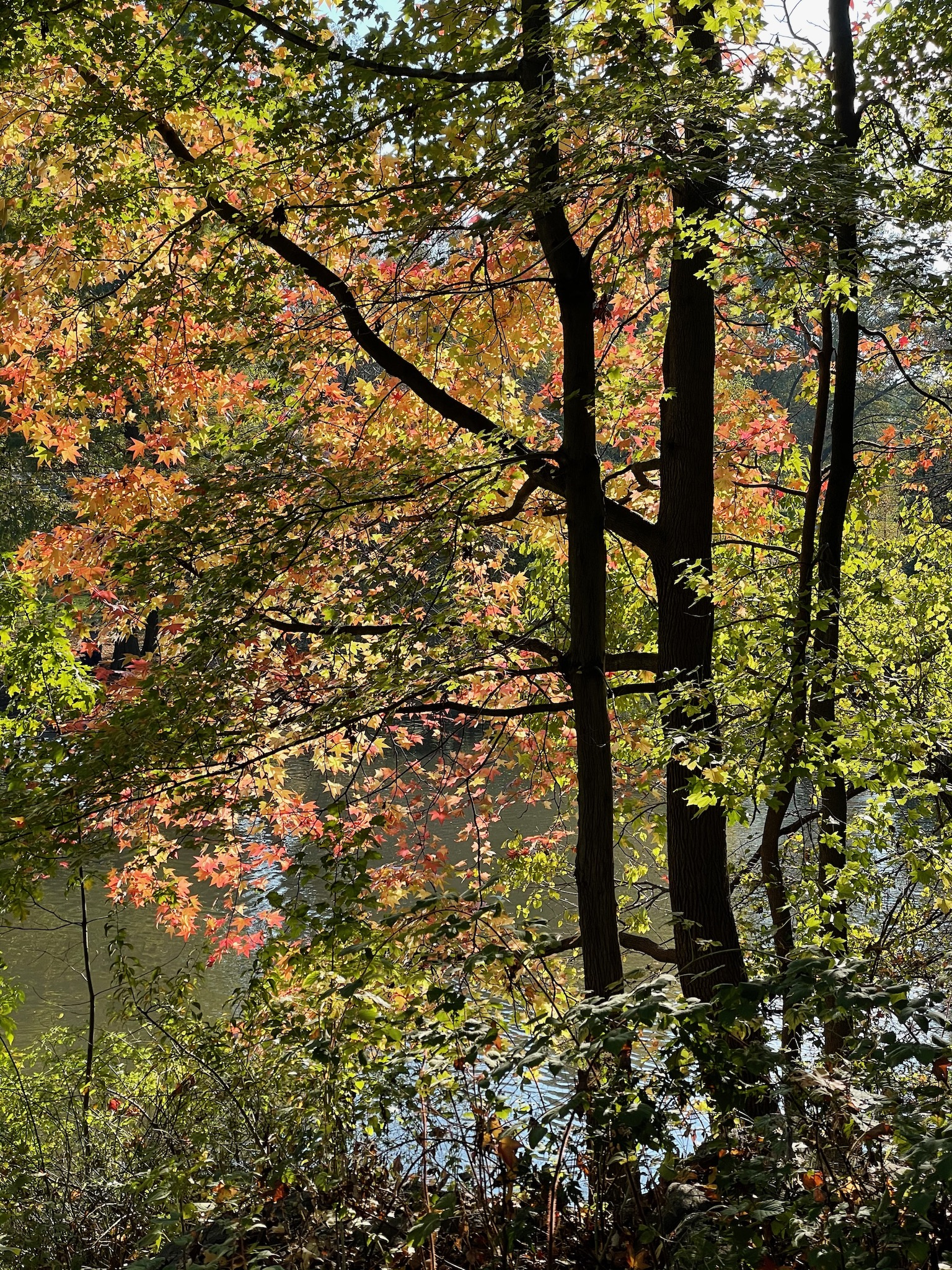 Backlit, colorful autumn trees over The Pool in Central Park